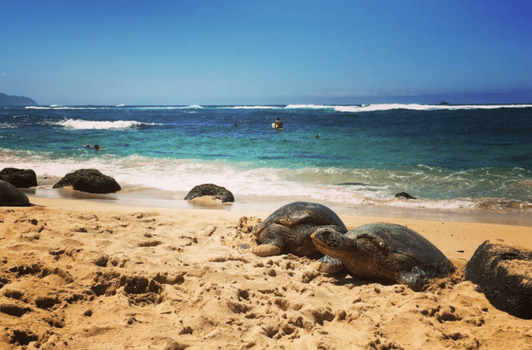 Turtle Beach Laniakea - - Best Things to do in Hawaii Oahu Waikiki - Kid Toddler Friendly - tiffanieanne.com